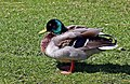 Duck by New River - geograph.org.uk - 1251008.jpg