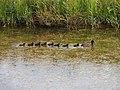 Ducks in a row2.JPG