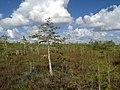Dwarf Cypress - panoramio (3).jpg