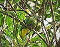 Dwarf Fruit Dove. Ptilinopus nainus (48693840891).jpg