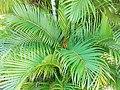 Dypsis lutescens (Arecaceae) 02.jpg
