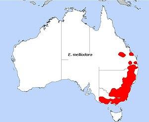 Eucalyptus melliodora - Image: E. melliodora