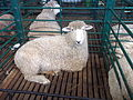 EXPOINTER 2013 01 Sheep.JPG