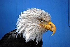 Eagle in Juneau 2007 08 10 0014.jpg