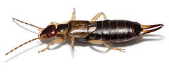 Female common earwig, Forficula auricularia(英語:Forficula auricularia)