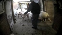 Fail:East Anglian Pig Co. Exposed - Animal Equality Undercover Investigation.webm