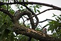 Eastern Bluebird Fledglings (5817840033).jpg