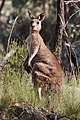 Eastern grey kangaroo dec07.jpg