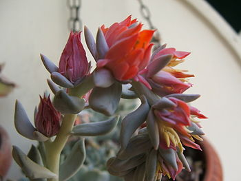 "English: Echeveria runyonii ""Topsy Turvy&..."