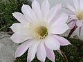 Echinopsis oxygona190649589.jpg