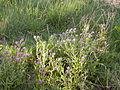 Echium plantagineum (5059785452).jpg