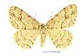 Ectropis crepuscularia SLU.JPG