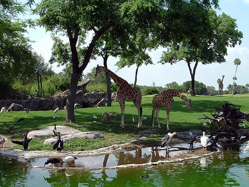 March 31: Busch Gardens opens in Florida Edge-of-africa-giraffes.jpg