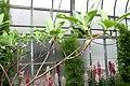 Edgeworthia chrysantha 2zz.jpg