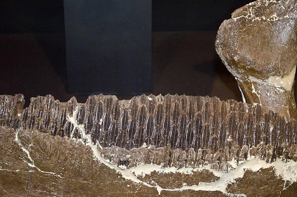 Edmontosaurus jaw