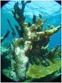Elk horn coral formations (498983871).jpg