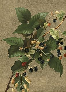 Ellen Thayer Fisher American botanical illustrator