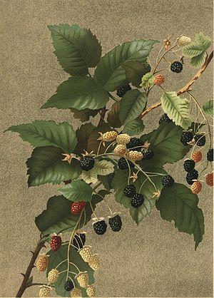 Ellen Thayer Fisher - Blackberries by Ellen Thayer Fisher