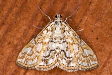 Elophila nymphaeata, Lodz(Poland)01(js).jpg