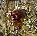 Emperor Moth. (Saturnia pavonia) male. (32742690887).jpg