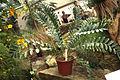 Encephalartos ferox Prag.jpg