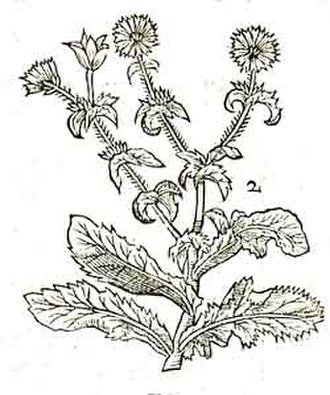 John Parkinson (botanist) - The Endive, illustrated in the second edition of Paradisi in Sole (1656).