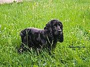 Cocker de pé sobre a grama.