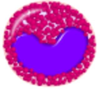 Metamyelocyte - Eosonophilic