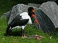 Ephippiorhynchus senegalensis (resting).jpg