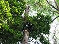Epiphyte aralam.jpg