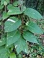 Epipremnum aureum (silver vine).jpg
