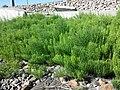 Equisetum arvense subsp. arvense sl24.jpg