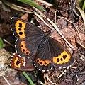Erebia ligea takanonis (mating).jpg
