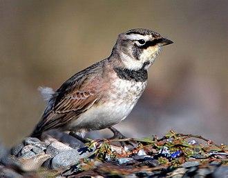 Horned lark - In British Columbia, Canada