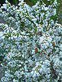 Erica leucantha flowers.JPG