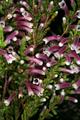 Erica macowanii subsp. lanceolata 1DS-II 3-8322.png