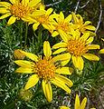 Ericameria linearifolia 4.jpg