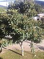 Eriobotrya japonica of Salta.jpg