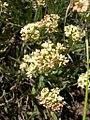 Eriogonum heracleoides-6-02-04.jpg