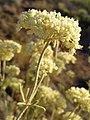 Eriogonum heracleoides var. heracleoides 1.jpg