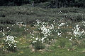 Eriophorum vaginatum var spissum WPC.jpg