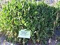 Erodium broteroii Habitus 2010-7-17 JardinBotanicoHoyadePedraza.jpg