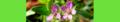 Erodium cicutarium. Reader.png