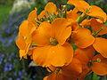 Erysimum cheiri gold garden flowers.jpg