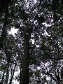 Erythrina fusca LOUR.jpg