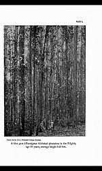 EucalyptusNilgiris