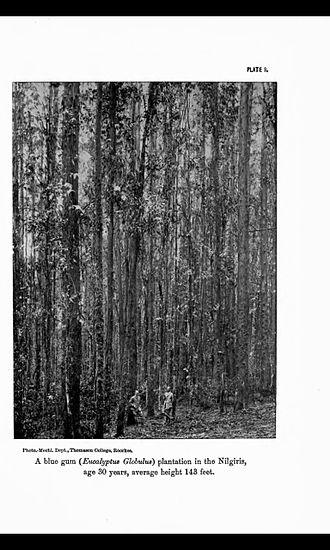 The Nilgiris District - A 1917 photo of Eucalyptus globulus (blue gum) plantation