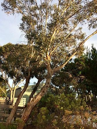 Eucalyptus diversifolia - Coastal white mallee, Kangaroo Island SA