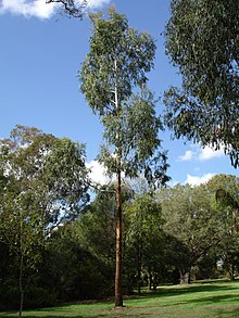 Eucalyptus Viminalis Wikipedia