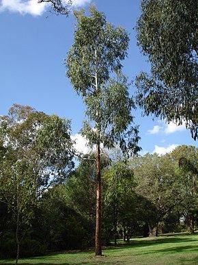 arbre gommier blanc
